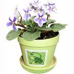 Himera Violet Plant