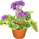 Violet Plant